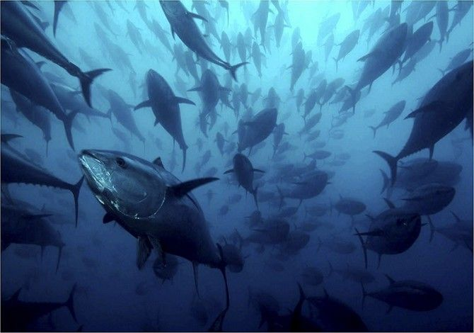 Animal Migrations  One of the fastest swimming fish in the ocean, the Atlantic Bluefin Tuna is known for long migrations, in short amts. of time..they cross the entire Atlantic Ocean from the US to Japan in as little as 20 months.