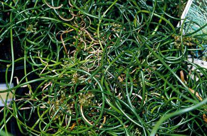 """Juncus effusus f. spiralis"" Corkscrew rush: hardy perennial, part to full sun, 50cm"