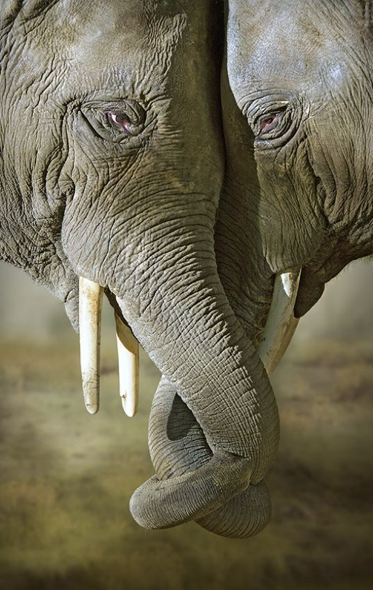 ~~2 brothers   elephant brotherly love, Africa by René Heylen~~