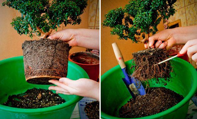 Комнатное растение мирт — уход и выращивание в домашних условиях