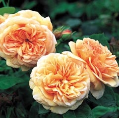 Charles Austin Roses