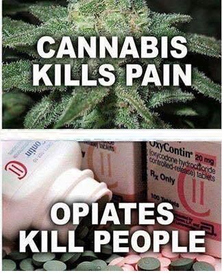 We're not against the use of #opioids in certain cases, however we consider #cannabis should ALWAYS be the first option for #painmanagement