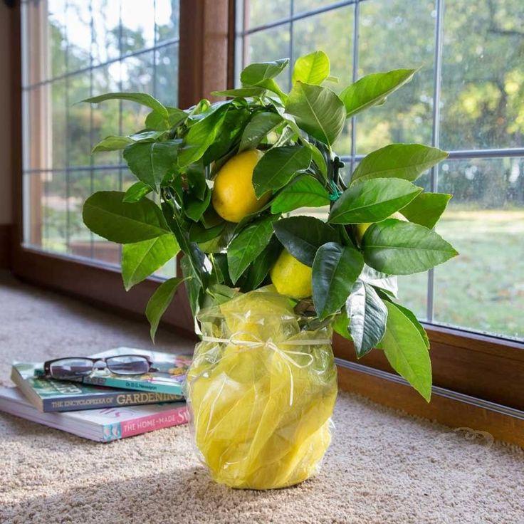 цветок лимонник домашний фото итоге