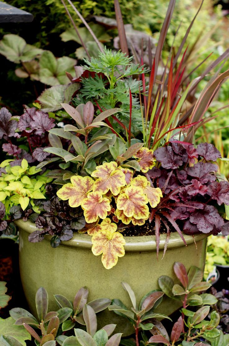 Heucheras/Heucherallas ~ lime green, yellow and deep burgundy perennial container plant combination~great focal point for any garden