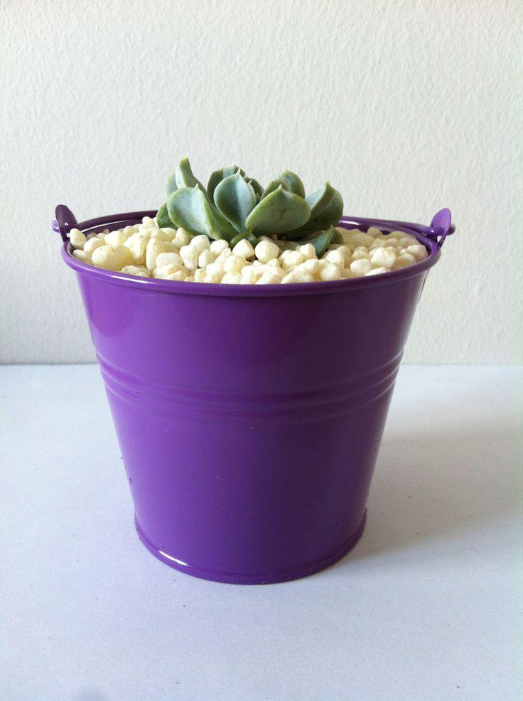 Succulente mauve www.plantites.com