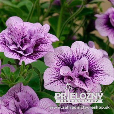 Petunia - Lavender Bouquet (Surfínia)
