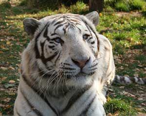 Fakta: Vita tigrar har ofta blå ögon