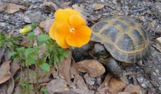Turtles and tortoises can be such a joy for children and adults. Some are very friendly and personable, which make them that much more fun to have as pets, but the problem lies with proper care and long lifespan.   Turtles and tortoises have rather...