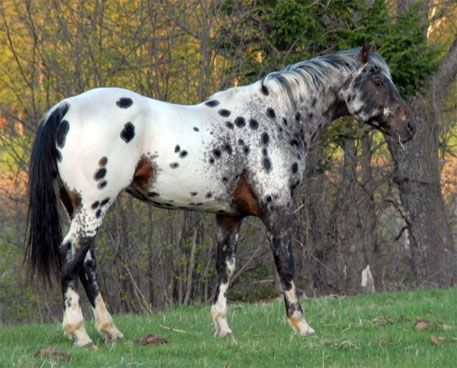 seal brown near leopard - Appaloosa stallion RR Lonesome ...