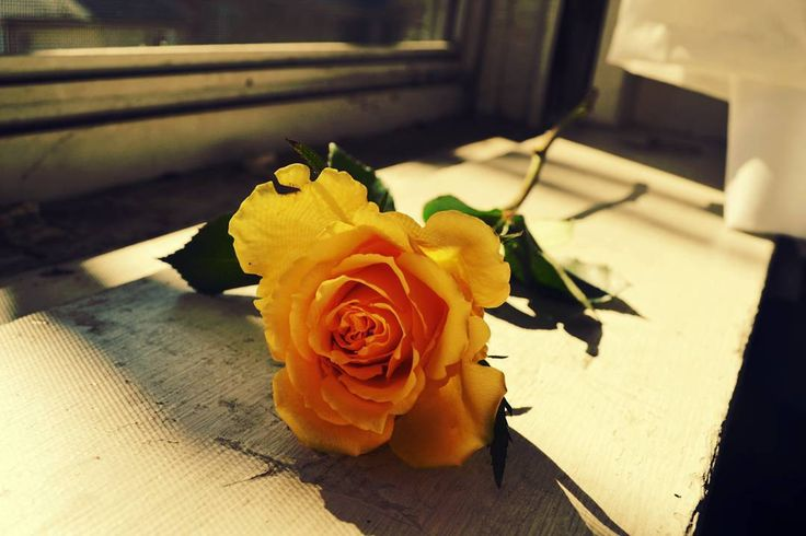 Gold Rose #rose #gold #afternoon #photography #vibrant #picoftheday