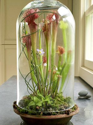 An old-fashioned dome makes a perfect container for tall plants. This group of insectivorous plants -- 'Scarlet Belle' pitcher plant, purple-blooming Mexican butterwort and Venus fly trap -- grows in sphagnum moss. The raised dome allows insects to enter.