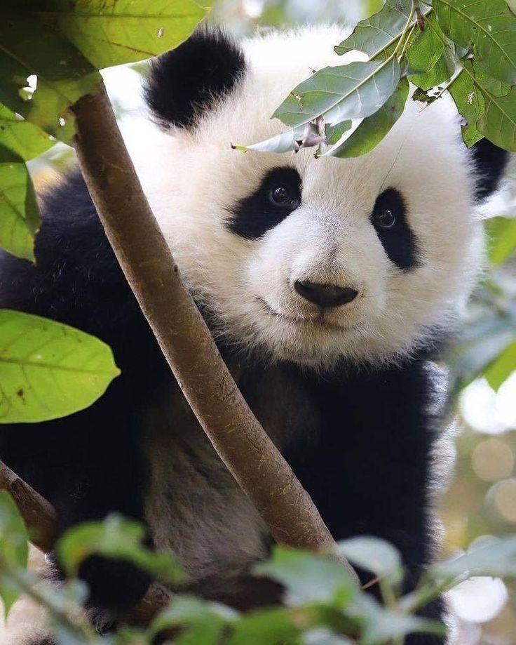 все фото с пандами милые жирности