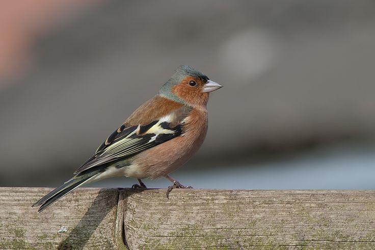 <p> De vink, ook wel boekvink, botvink of charlotte genoemd, is een zangvogel. In de lage landen is hij de bekendste en meest frequent voorkomende v