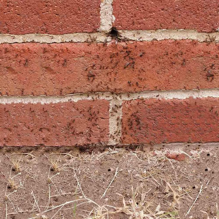 how to get rid of piss ants