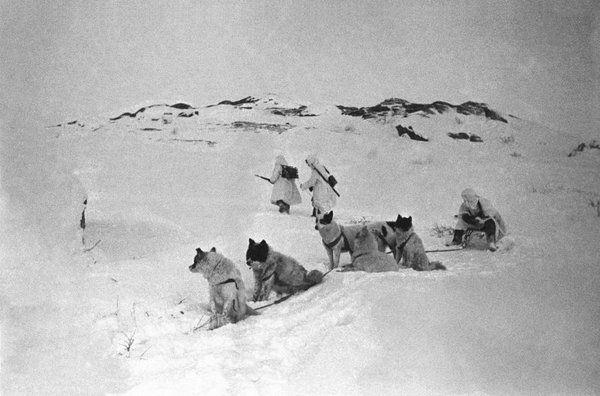 Собачья упряжка и советские связисты, прокладывающие телефонную линию по тундре в Заполярье. Февраль 1942 года.