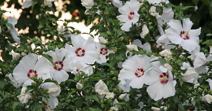 """Der """"Arbeitskreis Gehölzsichtung"""" hat 18 Hibiskus-Sorten (Hibiscus syriacus) an fünf verschiedenen Standorten in Deutschland auf Qualität und Gartentauglichkeit getestet. Hier sind die Ergebnisse."""