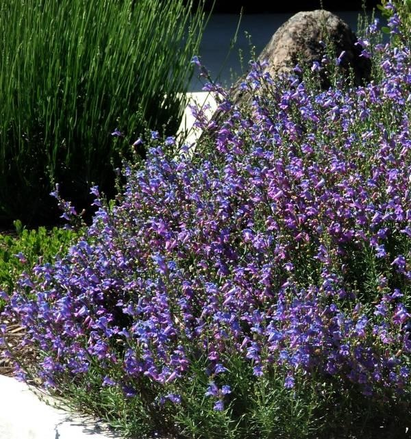 140 Best California Native Gardens And Plants I Love