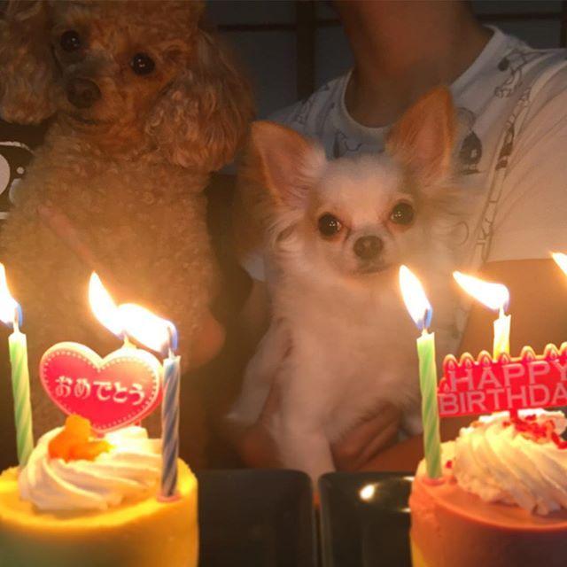 ・ こんばんワン🐶 ・ 今日は3歳のお誕生日🎂でした〜✨ ・ 犬用のケーキ🎂ペロリ〜👍 ・ お誕生日22日だと勘違いしてた💦 今朝娘に言われビックリ〜(笑) ・  #ワンコ#犬#愛犬#トイプードル#チワワ#3歳#お誕生日#同じ誕生日#おめでとう#dog#dogstagram#toypoodle#chihuahua#instagood