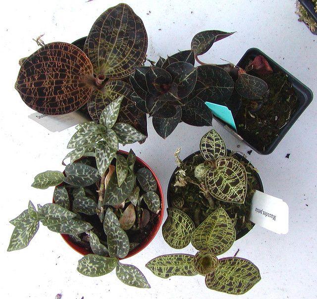 Clockwise, starting from the upper left: Dossinia marmorata, Anoectochilus formosanus, Macodes petola, Goodyera schlechtendaliana.