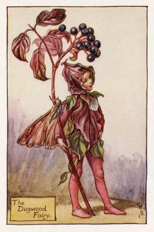Dogwood Flower Fairy Vintage Print, c.1927 Cicely Mary Barker-boekillustratie plaat