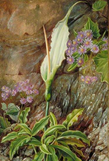 Dracunculus canariensis and Cineraria in Flower, Teneriffe by Marianne North  1875