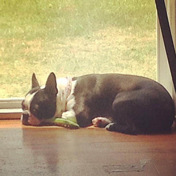 Sleepy  #bostonterrier  #cute  #buffy  #tiered  #boston #terrier #pics