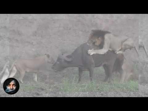 Búfalo cazado por 5 leones consigue una milagrosa segunda oportunidad: No podrás creerlo - YouTube