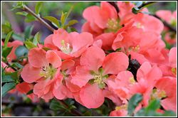 As the spring season unfolds, spring-flowering trees can raise the show of new color from ground level to eye level and above. Read on for some good choices if you want to raise the bar on spring color within your landscape.