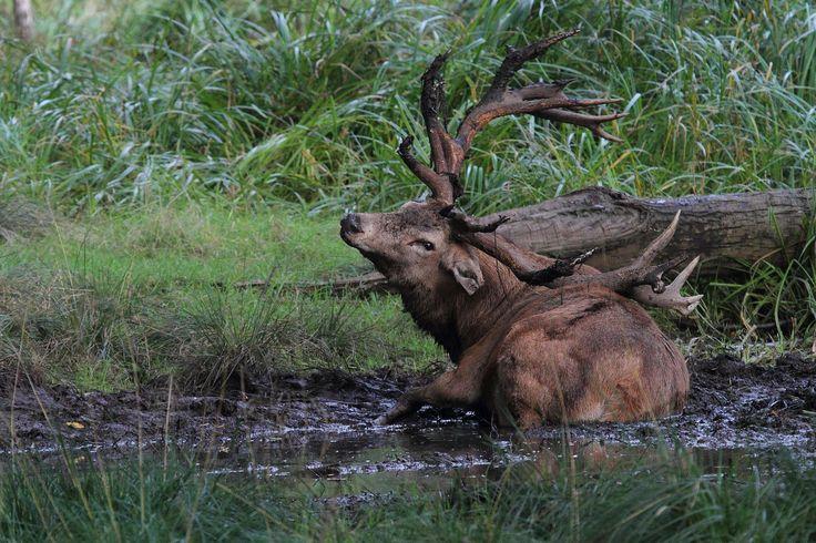 Red deer stag like to wallow in the mud. Image by Steve Adams