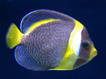 Picture of Scribbled Angelfish. http://www.fish-species.org.uk/angel-fish/07-scribbled-angelfish.htm
