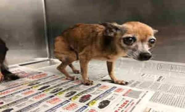 A4495134 My Name Is Chill And I M An Approximately 12 Year Old Female Chihuahua I Am Not Yet Spayed I Have Been At The Carson Chihuahua Dog Adoption Animals