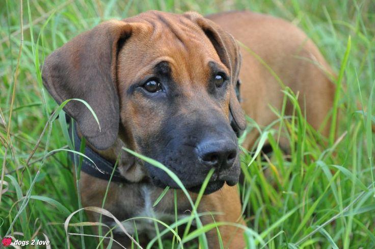 Rhodesian Ridgeback Bella  Hund im hohen Gras  Rasse: Rhodesian Ridgeback / Name: Bella     Mehr lesen: http://d2l.in/3a  dogs2love - Gassi gehen zum Verlieben. Partnerbörse für alle, die Hunde lieben.  Bild, Dating, Foto, Hund, Single
