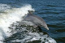 State Marine Mammal: Bottlenose Dolphin