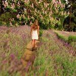 Summer Lavender.  Ashcombe Maze & Lavender Gardens.  Mornington Peninsula, Victoria, Australia.