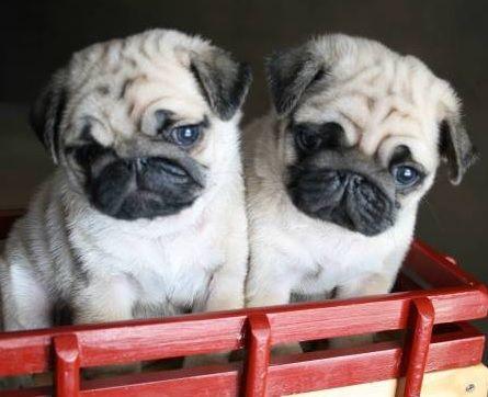 Cute Pug Puppies ~