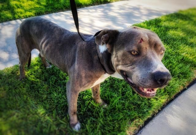 04/13/17-**SEE VIDEO!!** HOUSTON-EXTREMELY URGENT -This DOG - ID#a480945 I am a male, gray and white Pit Bull Terrier. The shelter staff think I am about 2 years old. I have been at the shelter since Apr 07, 2017. Harris County Public Health and Environmental Services. https://www.facebook.com/harriscountyanimalsheltervolunteers/videos/489381051186140/