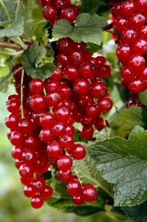 Currant Standard Ribest® Violette®  The latest variety, a large-fruited red currant