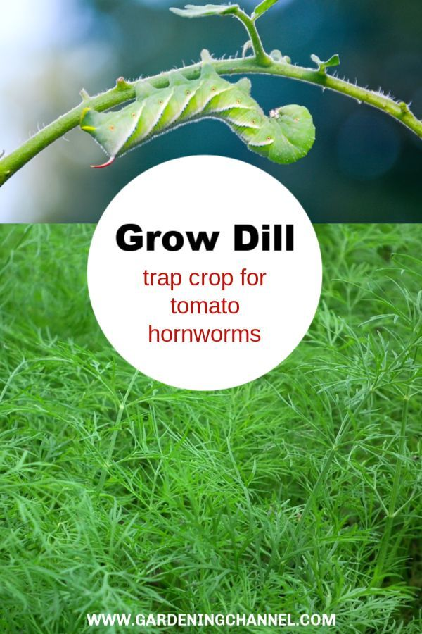 Grow Dill to Save Tomato Plants from Hornworms Dogwood Pond Farms