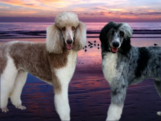 These are not Australianoodles or Old English Sheepdogoodles or Blue Healerdoodles. These are Standard Poodles. Hidden Meadows Standard Parti Poodles   Standard Poodle Puppies