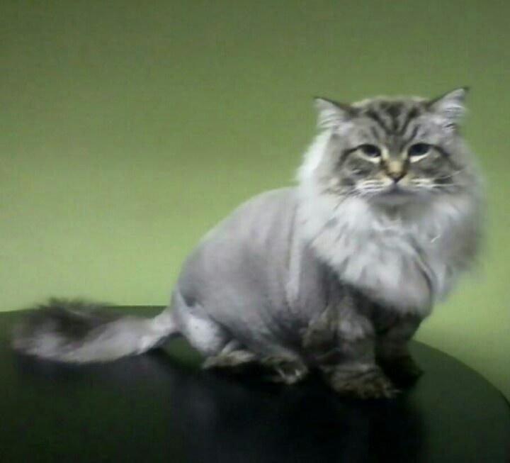 59 Best Cat Grooming Images On Pinterest Cat Grooming