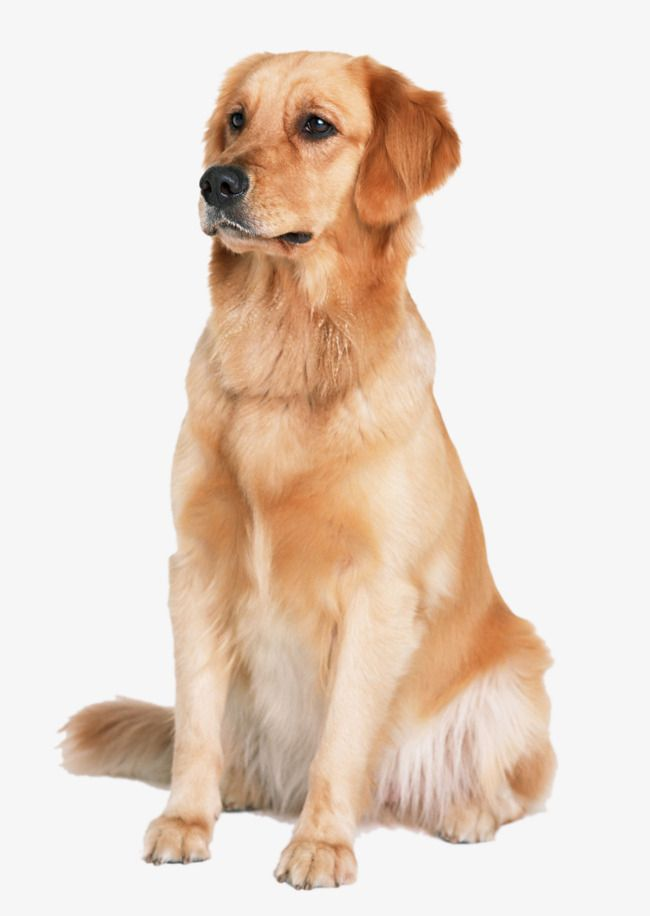 Golden Retriever Dog Red Dogs Dog Clipart Pet Png Transparent