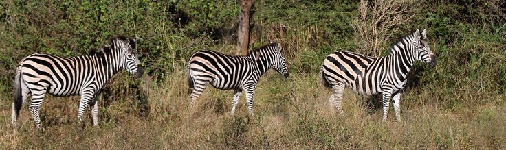 Zebra's spotted near Eden Safari Country House...  Fun fact to know about Zebra's:  A zebra's stripes act like an equine fingerprint - each individual's pattern is unique. Foals recognise their mothers by the pattern of their stripes, as well as by scent and call. (http://www.discoverwildlife.com/)