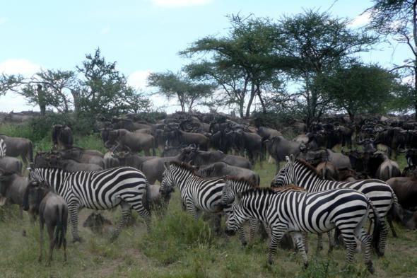 Serengeti, Africa: Africa Safari, Buckets Lists, Most Popular, Serengeti, Africans Safari, Beautiful Places, National Parks, Africa Travel, Zebras