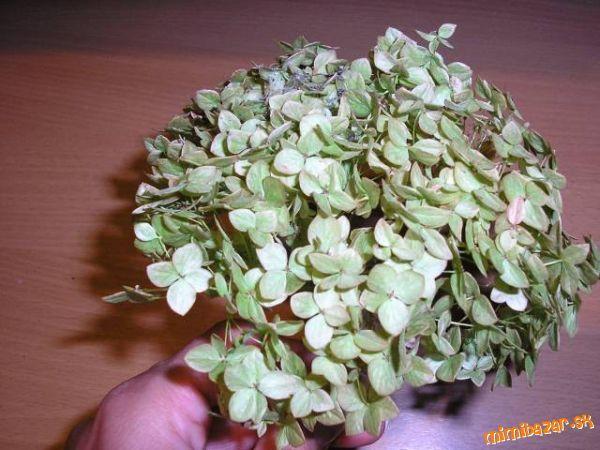 Sušenie hortenzie v mikrovlnej rúre
