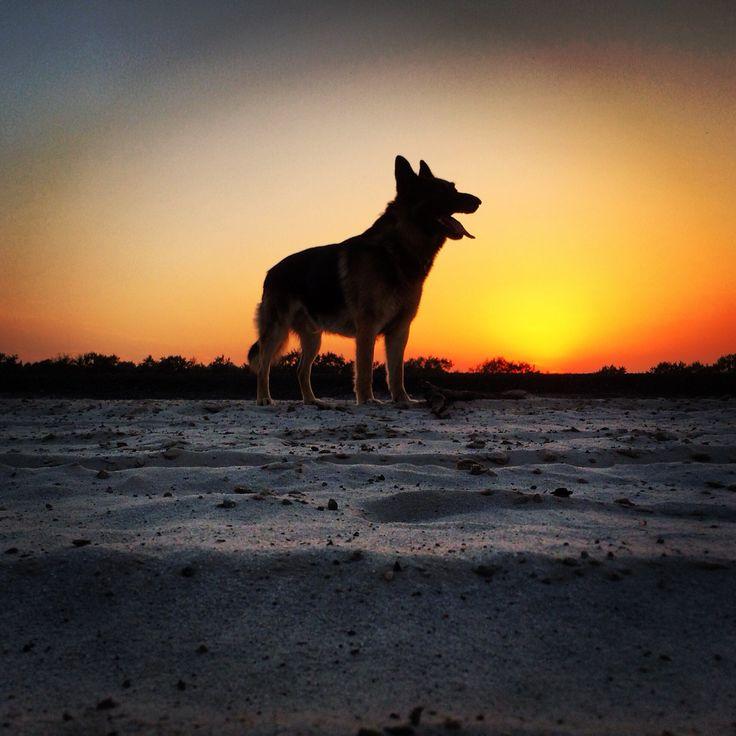 German shepherd #sunset #netherlands / friesland / de valom