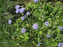 Jasione montana - Sheep's bit scabious: common name