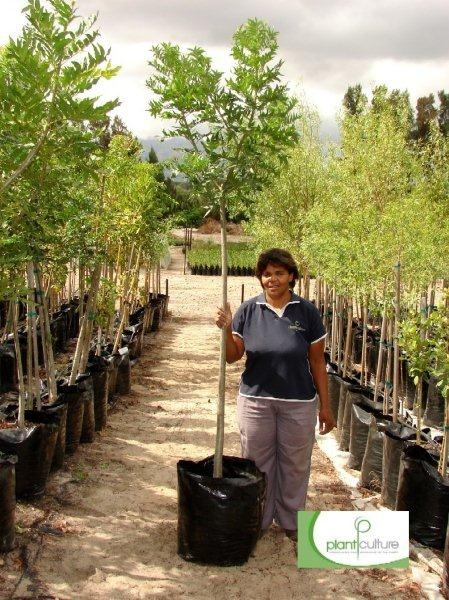 Google Image Result for http://www.plantculture.co.za/assets/image-gallery/See-our-trees/medium-trees-60l/Harpephyllum-caffrum-60L.jpg