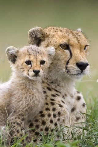 Cheetah Conservation Botswana.                                                                                                                                                     More