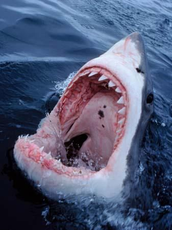 Great White Shark, South Africa - by David Doubilet