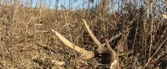 Shed Hunting Tips. we
